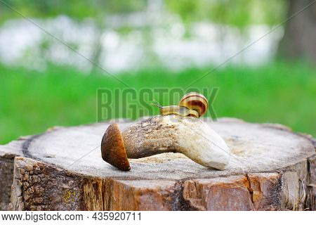 One Small Snail Sits On A Picked Mushroom, On A Stump, Against The Background Of The Forest, In The