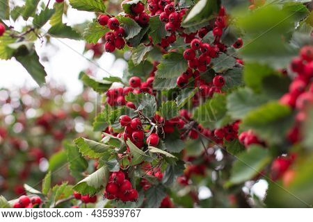 Red Berries And Leaves On Thorny Branches Hawthorn Or Thornapple Crataegus, Common Hawthorn, Singles
