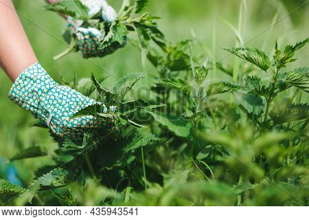Woman Picking Fresh Nettle Leaves With Protection Gloves In The Garden. Selective Focus