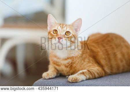 Ginger  Cat Playing Indoors. Cute Stripe Ginger Cat Sitting On A Wood Table  Playing In A House. Sel