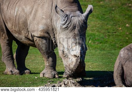 White Rhinoceros. Mammal And Mammals. Land World And Fauna. Wildlife And Zoology. Nature And Animal