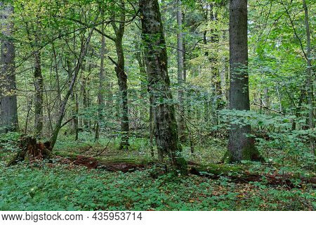 Autumnal Deciduous Tree Stand With Hornbeams And Broken Tree, Bialowieza Forest, Poland, Europe