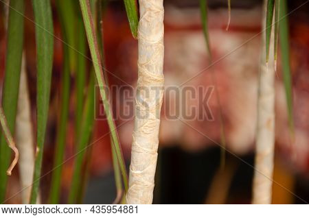 Texture Of Trunk And Green Leaves Of Dracaena On Background Of Furniture. Growing House Tropical Pla