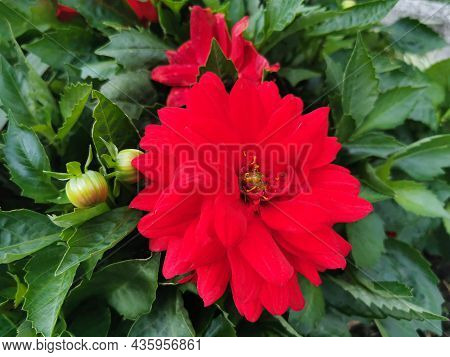 Macro Image Of A Red Dahlia Against A Background Of Green Leaves