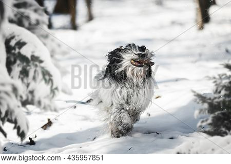 Tibetan Terrier Dog Holding A Small Stick And Running Through The Snow