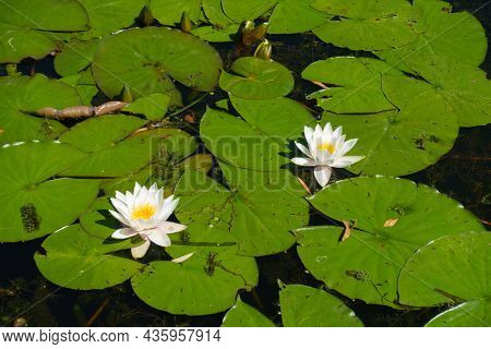 Buds And Two White Flowers Of Nymphaea Alba In  Mid October