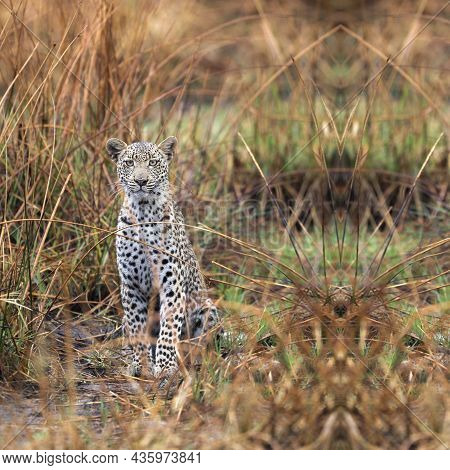 Portrait Of Leopard Looking At Camera, Young African Leopard, Leopard In The Bush