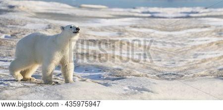 Polar Bear Portrait With Copy Space, Polar Bear In Antarctica, Polar Bear Walking On Snow