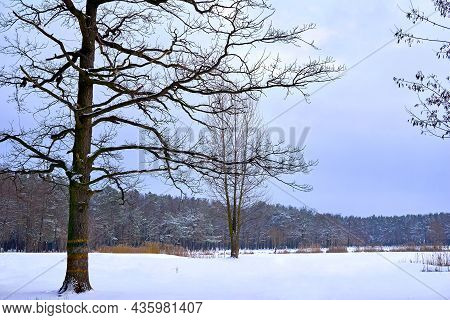 Tree, Lawn And Winter Forest On A Frosty Day