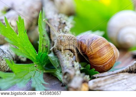 Burgundy Snail Helix Pomatia Or Escargot Is A Species Of Land Snail. Burgundy Snail Gliding On The G