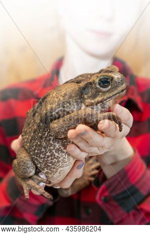 The Cane Toad, - The Giant Neotropical Toad Or Marine Toad, Is A Large, Terrestrial True Toad Native