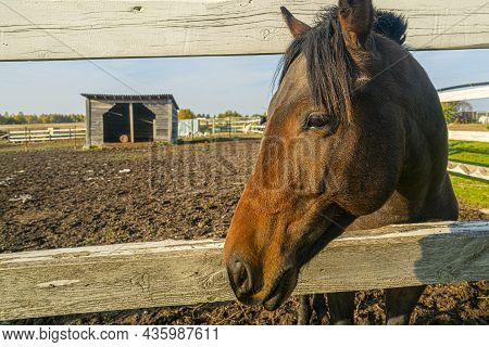 Pet Horse In The Paddock At The Farm. Pets On A Summer Day.