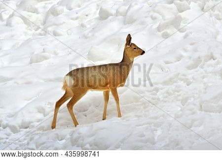 A Young Deer In The Snow. Siberian Roe Deer Stands In Drifts Of White Snow, A Cute Wild Animal With