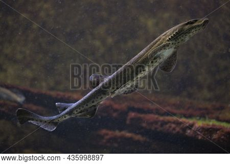 The Small-spotted Catshark, Sandy Dogfish, Lesser-spotted Dogfish, Rough-hound, Morgay (scyliorhinus