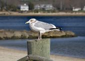 Seagull Close Up Marion Harbor Massachusetts Winter Time poster