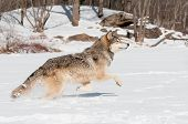 Grey Wolf (Canis lupus) Leaps - captive animal poster