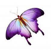Violet orange butterfly isolated on white background poster