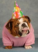 english bulldog with pink shirt and birthday hat with tongue sticking out - just another year poster
