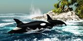 Two Killer whales swim into an ocean inlet looking for fish or seal prey. poster