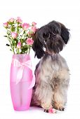 Small doggie. Decorative thoroughbred dog. Puppy of the Petersburg orchid. Shaggy doggie. Doggie and roses. Doggie and flowers. poster