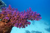 coral reef with pink pocillopora coral at the bottom of red sea in egypt poster