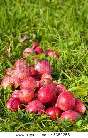 Red Ripe Apples On Green Grass