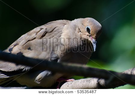 Sad And Introspective Mourning Dove Perched In A Tree