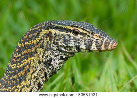 A head- shot of a Nile Monitor Lizard (Varanus niloticus) poster