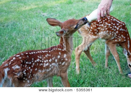 Fawns Being Bottle Fed
