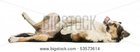 Side view of a Border collie lying on its back, submissive, isolated on white