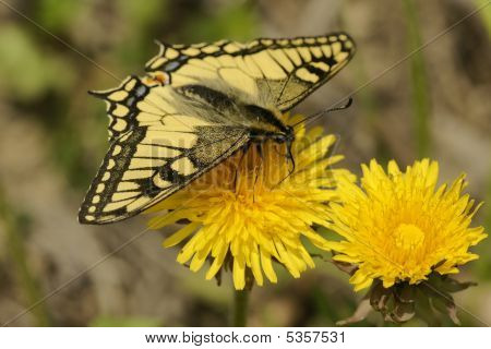 Butterfly Swallowtail (papilio Machaon)