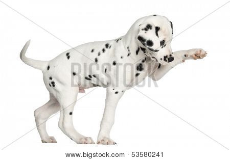 Side view of a Dalmatian puppy pawing up, isolated on white