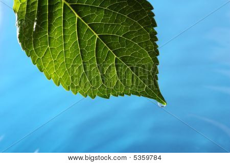 Hydrangea Leaf Above Blue Water