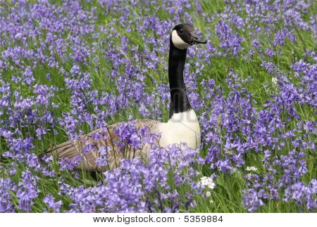 Goose And Bluebells