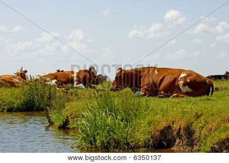 Dutch landscape with meadow water and cows poster