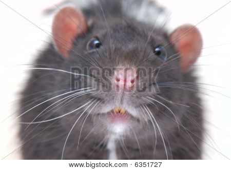 Curiously Rat