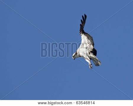 Osprey Searches For Food.
