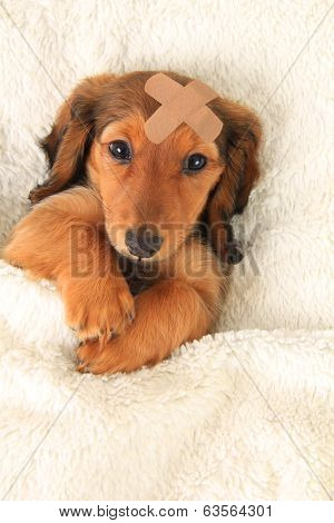 Longhair dachshund puppy wearing a band aid.
