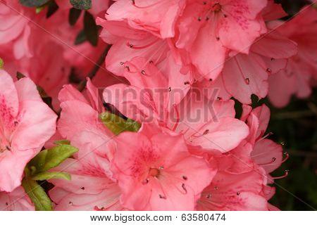 Azalea Pink Closeup 3