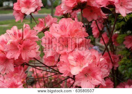 Azalea Pink Closeup 2