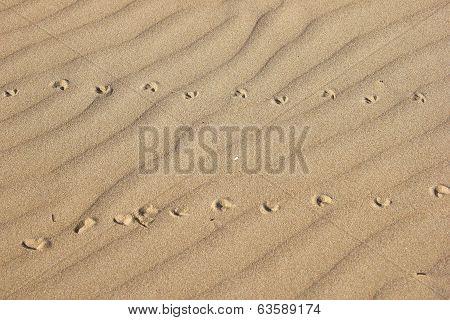 Bird prints in the Sand