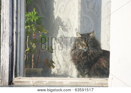 poster of fluffy cat illuminated by the sun sitting at the window next to the geranium plant in a pot and looking window.