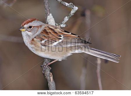 Sitting American Tree Sparrow