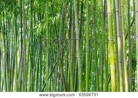Asian Bamboo Forest In Spring Blossom