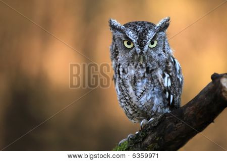 Closeup of an Eastern Screech Owl against a blurred background. poster