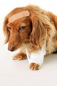 Dachshund dog wearing a bandage and band aid.  poster