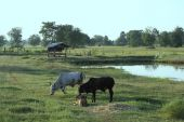 Cattle feeding in remote area with paddyfield in background, Khong district, Nakhon Ratchasima, Thailand poster