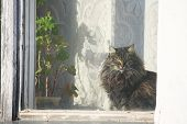 fluffy cat illuminated by the sun sitting at the window next to the geranium plant in a pot and looking window. poster