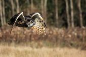 Great Horned Owl in flight against a blurred background. poster
