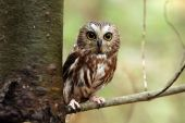 Northern Saw-Whet Owl against a blurred background. poster
